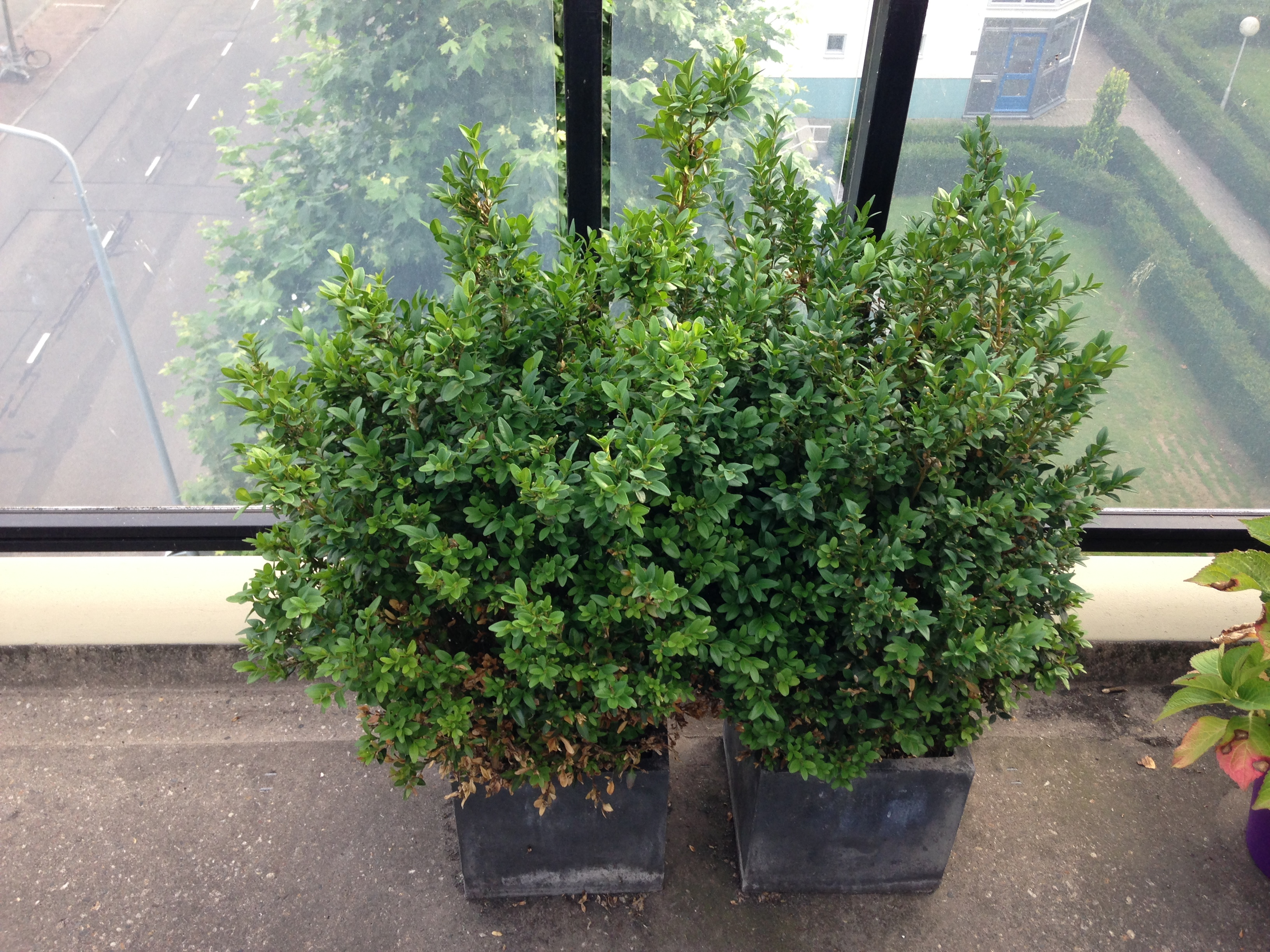 What's on mama's mind balkon buxus