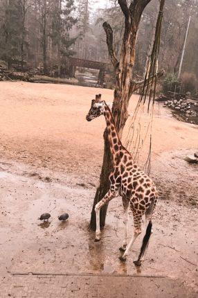 Dierenpark Amersfoort giraf
