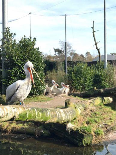 Dierenpark Amersfoort Poep & Zoo pelicaan