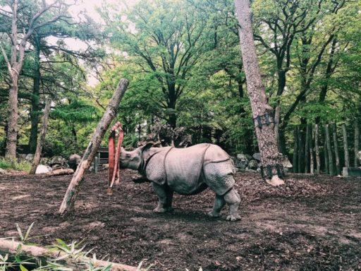 Neushoorn dierenpark Amersfoort