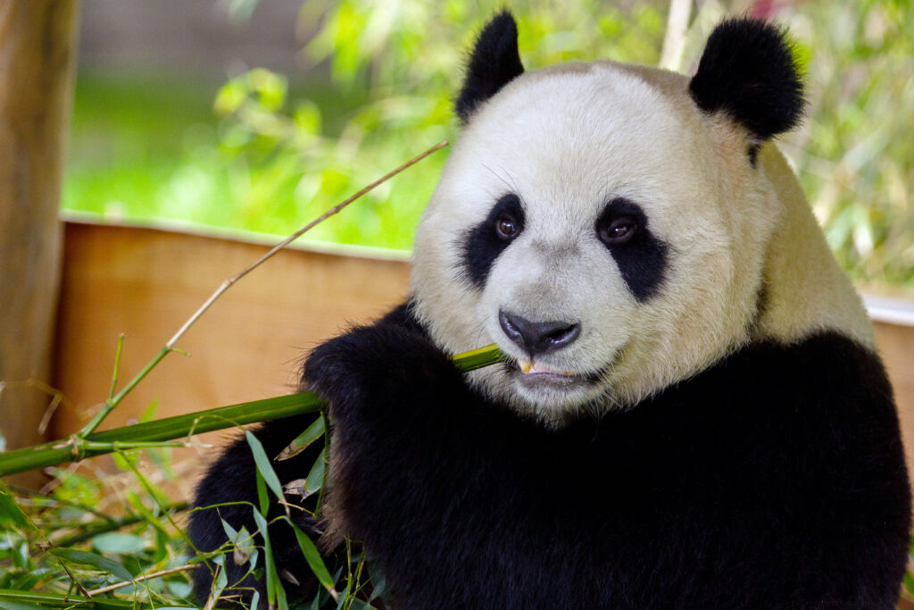 Panda Xing Ya_Ouwehand