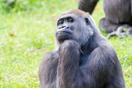 gorilla apenheul
