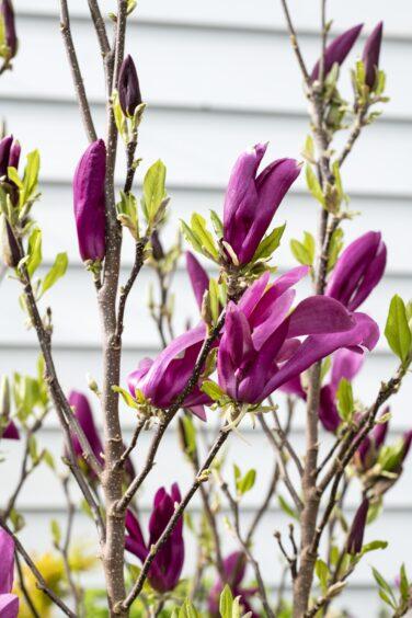 Intratuin Magnolia